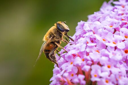 Drone fly Eristalis tenax insect pollination on purple buddleja flowers on a sunny day