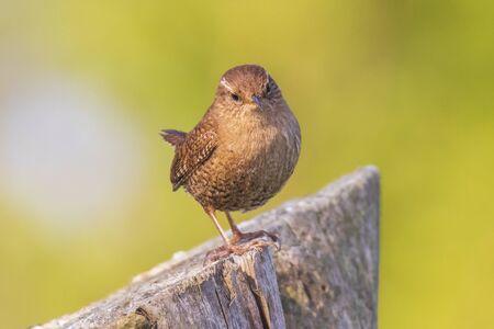 Eurasian Wren Troglodytes troglodytes bird singing in a forest during breeding Springtime season Banco de Imagens