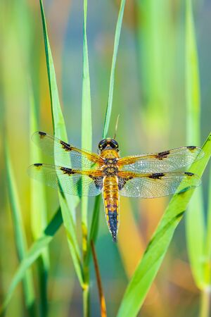 Close-up of a four-spotted chaser Libellula quadrimaculata or four-spotted skimmer dragonfly resting in sunlight on green reeds.