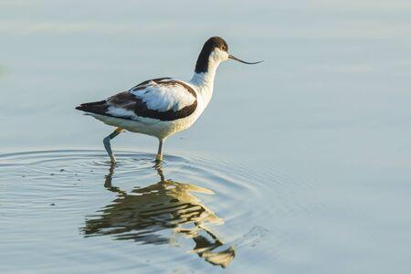 Close-up of a Pied Avocet, Recurvirostra avosetta, foraging Banco de Imagens