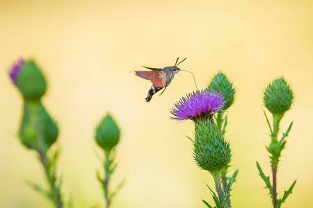 Side view of a Macroglossum stellatarum hummingbird hawk-moth feeding on purple thistle flowers in a vibrant colored meadow