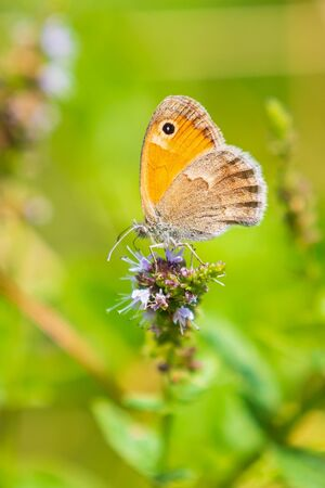 Closeup of a small heath butterfly Coenonympha pamphilus resting in sunlight on a pink flower with wings closed