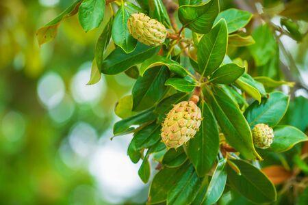 Fresh growing fruits in a magnolia tree closeup Banco de Imagens