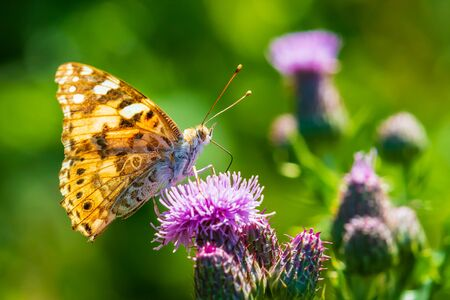 Painted Lady butterfly vanessa cardu feeding nectar from a purple thistle flower. Banco de Imagens