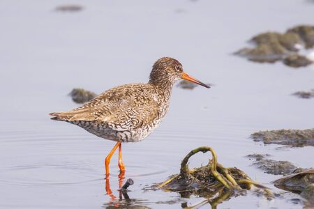 Common redshank bird tringa totanus perched and foraging in water. These Eurasian wader bird are common breeders in the agraric grassland of the Netherlands.