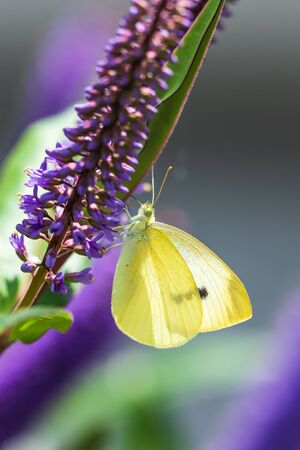 Pieris brassicae, the large white or cabbage butterfly closeup side view pollinating on purple Buddleja flower.