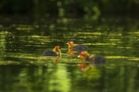 Eurasian coot, Fulica atra, chick swimming. Low point of view Banco de Imagens