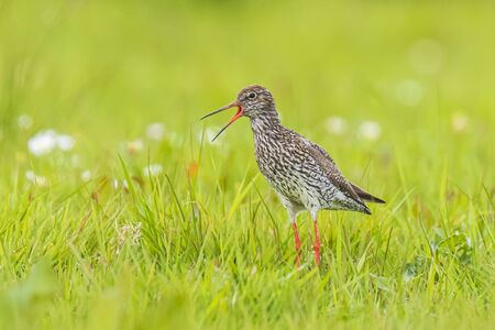 Common redshank (tringa totanus) wader bird perched on a vibrant meadow.  These Eurasian wader bird are common breeders in the agraric grassland of the Netherlands.