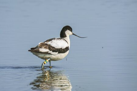 Close-up of a Pied Avocet, Recurvirostra avosetta, standing in the water. Foraging in natural sunlight