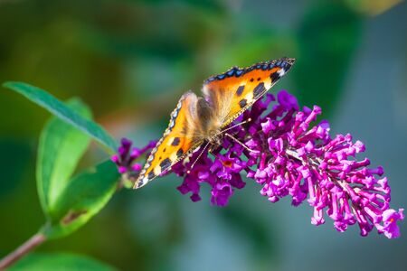Small tortoiseshell Aglais urticae butterfly wings open detailed top view closeup. Pollinating on purple buddleja flowers, natural sunlight, selective focus, isolated by nature