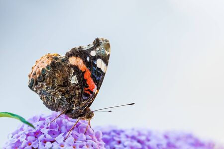 Vanessa atalanta, Red Admiral butterfly, feeding nectar from a purple butterfly-bush in garden. Bright sunlight, vibrant colors. Banco de Imagens