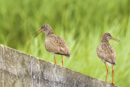 Common redshank (tringa totanus) perched on a pole in farmland. These Eurasian wader bird are common breeders in the agraric grassland of the Netherlands.