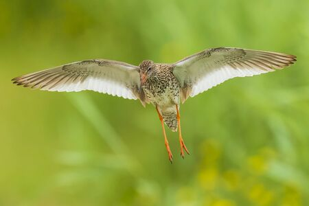 Beautiful common redshank tringa totanus bird flying.  These Eurasian wader birds are common breeders in the agraric grassland of the Netherlands.