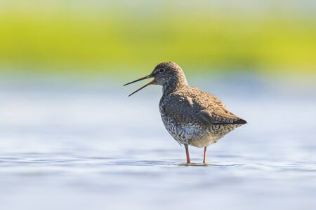 Common redshank tringa totanus wading bird foraging in water on a sunny day  These Eurasian wader bird are common breeders in the agraric grassland of the Netherlands. Banco de Imagens