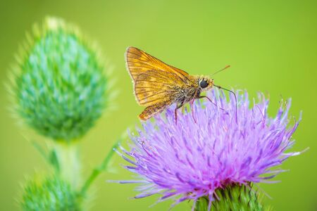Closeup of a large skipper Ochlodes sylvanus butterfly on a purple thistle flowers drinking nectar. Banco de Imagens
