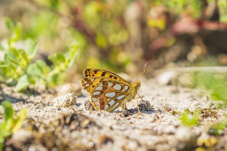 Queen of spain fritillary, issoria lathonia, butterfly resting in a meadow. Coastal dunes landscape, daytime bright sunlight. Banco de Imagens