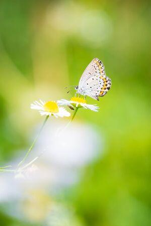Polyommatus escheri, Escher's blue, butterfly resting in a green meadow Banque d'images