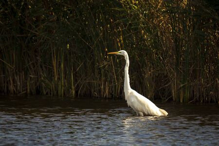 Closeup of a  great egret Ardea alba in flight, fishing in a lake during sunset Banco de Imagens