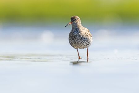 Common redshank tringa totanus wading bird foraging in water on a sunny dayThese Eurasian wader bird are common breeders in the agraric grassland of the Netherlands.
