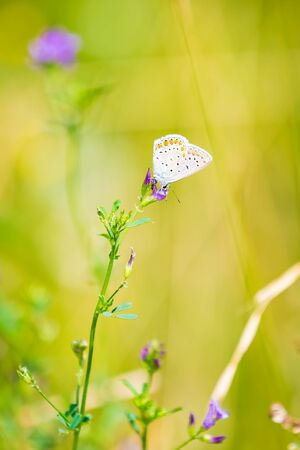 Early morning Common Blue butterfly Polyommatus icarus pollinating on a flower in a meadow under bright sunlight.