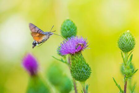 Side view of a Macroglossum stellatarum hummingbird hawk-moth feeding on purple thistle flowers in a vibrant colored meadow Reklamní fotografie