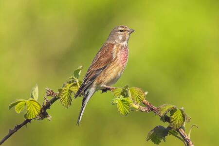 Closeup portrait of a Linnet bird male, Carduelis cannabina, display and searching for a mate during Spring season. Singing in the early morning sunlight.