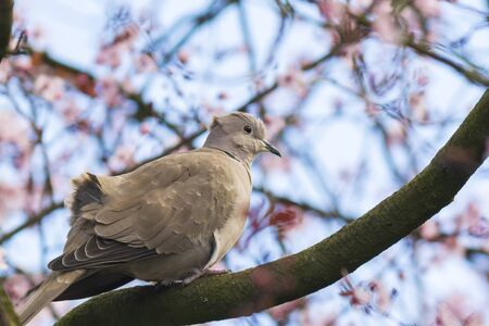 Closeup of a Eurasian collared dove (Streptopelia decaocto) bird, perched and nesting in a tree with pink blossom flowers Banco de Imagens