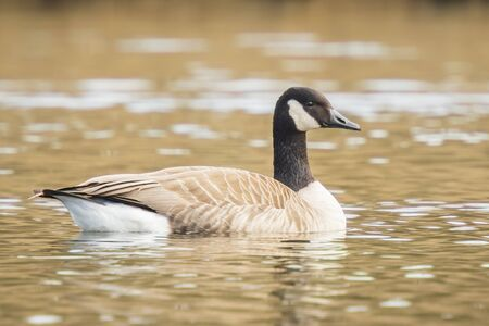 Close-up of a Canada goose (Branta canadensis) with reflection, swimming in a pond.