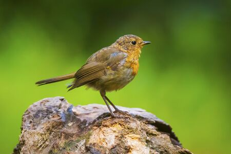 European robin (Erithacus rubecula) chick in a forest Stock Photo