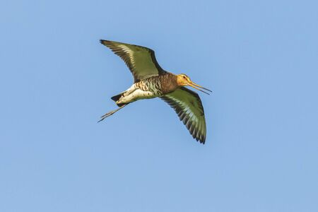 Black-tailed godwit Limosa Limosa in flight against a blue sky. Most of the European population breed in the Netherlands. 스톡 콘텐츠