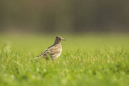 Eurasian skylark bird Alauda arvensis in a meadow walking in bright sunlight. 스톡 콘텐츠