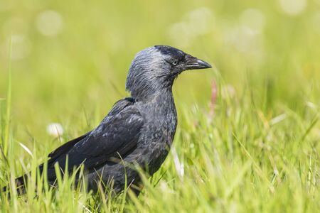 Closeup portrait of a Western Jackdaw bird Coloeus Monedula foraging in green grass on a sunny day 스톡 콘텐츠