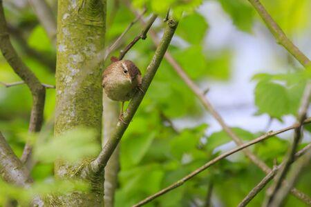 Male Eurasian Wren bird (Troglodytes troglodytes) singing in a forest during breeding season attracting a female