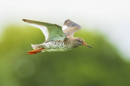 Beautiful common redshank tringa totanus bird flying.