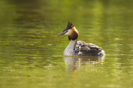 Portrait closeup of a great crested grebe, Podiceps cristatus swimming on the water surface on a lake with chicks on her back.