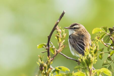 Closeup of a Sedge Warbler bird, Acrocephalus schoenobaenus, singing to attract a female during breeding season in Springtime Banque d'images