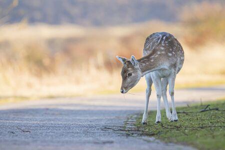 Fallow deer (Dama Dama) young fawn carefully crossing a road Stock Photo