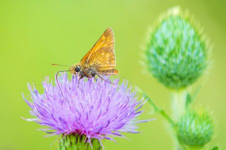 Closeup of a large skipper Ochlodes sylvanus butterfly on a purple thistle flowers drinking nectar. Stockfoto