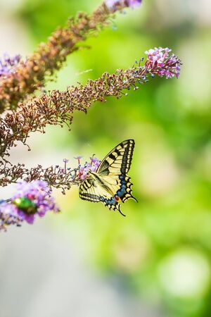 Papilio machaon, the Old World swallowtail, butterfly feeding nectar from a purple butterfly-bush.