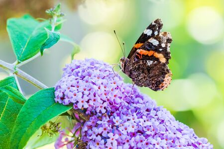 Vanessa atalanta, Red Admiral butterfly, feeding nectar from a purple butterfly-bush in garden. Bright sunlight, vibrant colors.