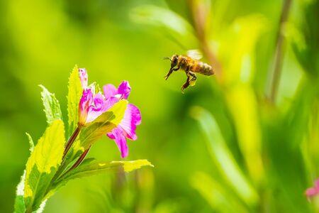 Closeup of a western honey bee or European honey bee (Apis mellifera) feeding nectar of pink great hairy willowherb Epilobium hirsutum flowers