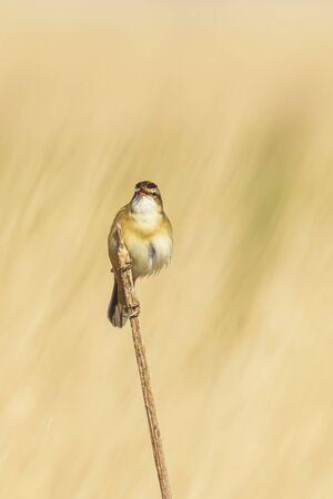 Eurasian reed warbler Acrocephalus scirpaceus bird singing in reeds during sunrise. Springtime season