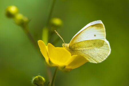 Small white Pieris rapae butterfly feeding nectar from a yellow flower buttercup Ranunculus repens in a forest