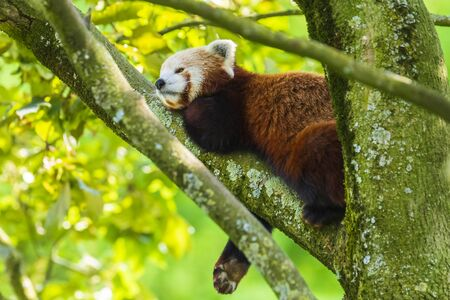 Little red panda resting in a tree facing the camera. This is a small arboreal mammal native to the eastern Himalayas and southwestern China that has been classified as endangered by the IUCN.