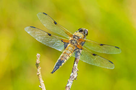 Close-up of a four-spotted chaser, Libellula quadrimaculata, or four-spotted skimmer dragonfly resting in sunlight on green already.