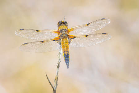 Close-up of a four-spotted chaser, Libellula quadrimaculata, or four-spotted skimmer dragonfly resting in sunlight on green already. Standard-Bild