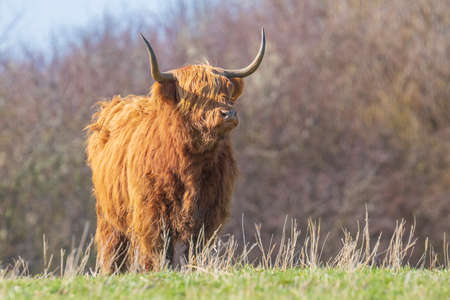 Closeup of brown red Highland cattle, Scottish cattle breed Bos taurus with long horns resting in grassland Zdjęcie Seryjne