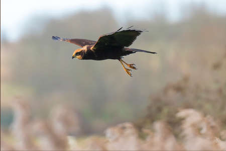 Western marsh harrier, Circus aeruginosus, bird of prey in flight searching and hunting above a field. Selective focus technique, winter landscape. Reklamní fotografie