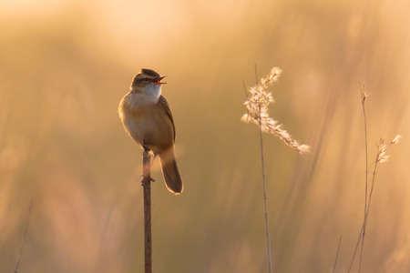 Closeup of a Sedge Warbler bird, Acrocephalus schoenobaenus, singing to attract a female during breeding season in Springtime sunset