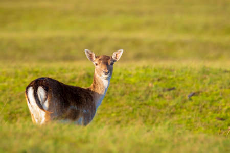 Female fallow deer doe or hind, Dama Dama in a meadow in a forest on a sunny day.